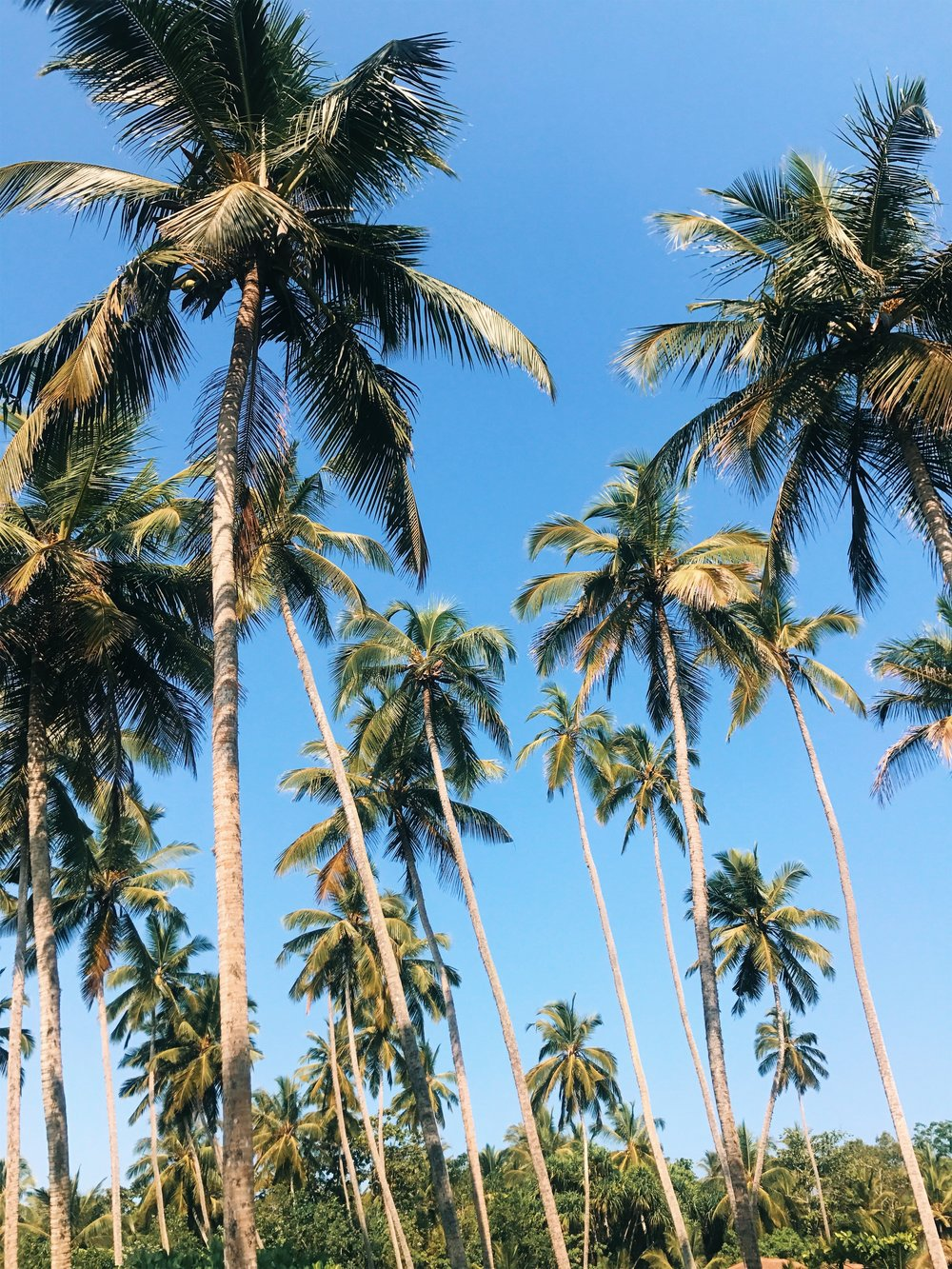 Tangalle Palm Trees