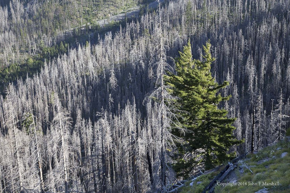 Living at the edge of a meadow, these two Douglas-fir trees survived the fire.  Remnant trees are important in re-seeding the forest.