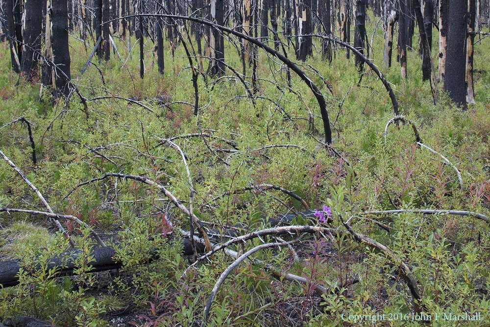 NNMW-4  September 7, 2016. Fireweed and willow are abundant.  Lodgepole pine seedlings can be seen, as a darker shade of green.