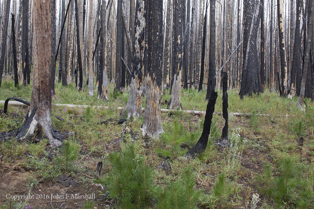 NNMW-8  September 7, 2016.  This site is showing surprising resilience.  Plants besides the lodgepole pine seedlings include pearly everlasting, willow, gooseberry, fireweed, and canadian thistle.