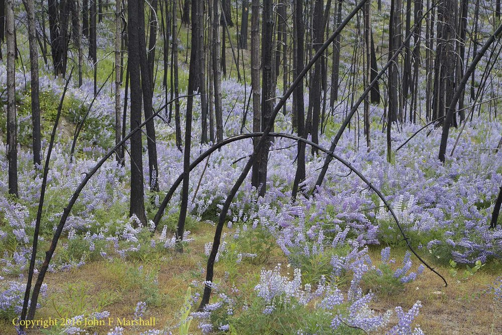Photograph from west of Loup Loup Summit.  This photograph was taken on June 14, at about 3,500 feet elevation.  This area burned as part of Carlton Complex Fire in 2014. The dead trees are a mix of Douglas-fir and ponderosa pine.  The flowers are a species of lupine. Carlton Complex Fire 2014, 2016 Photo
