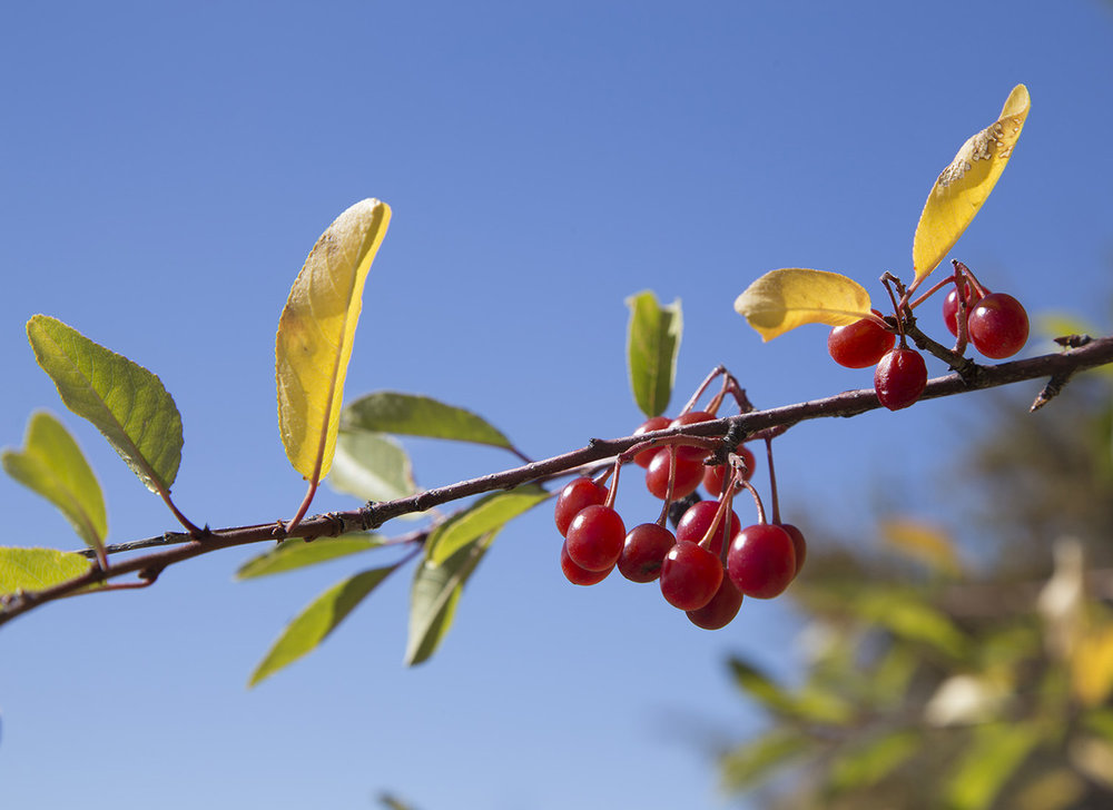 The berries of bitter cherry must appeal to robins, as there was a flock of them feeding.