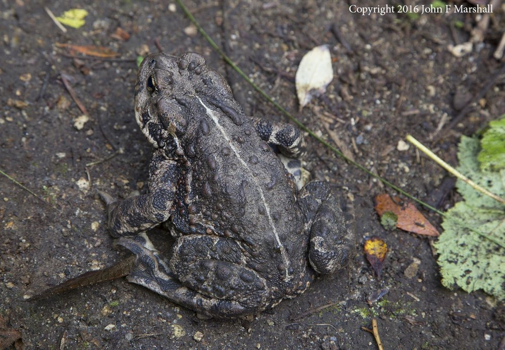 I photographed this western toad right in the trail, in an area not burned.