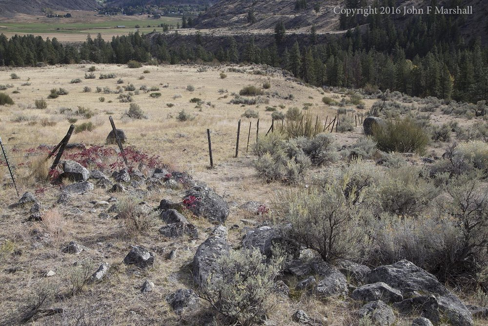 The hillside with the apricot trees shows signs of heavy livestock use, as evidenced by the change in vegetation along the fence-line.  The area at left has a lot of native fescue grass, while the area on the right where the apricot trees grow has very little grass and much in the way of sagebrush and bitterbrush. When ground is chronically grazed hard, the plants favored by cattle tend to disappear, and the ones they don't like to eat increase.  Apparently cattle don't like the taste of apricot trees or the trees would not have survived here.