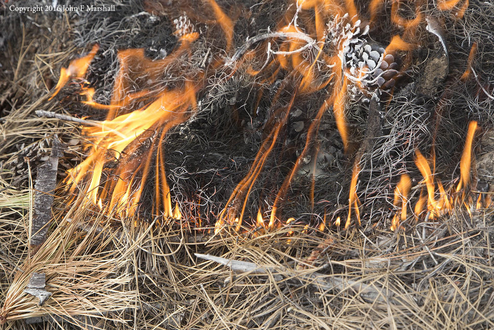 A backing fire of very low intensity consumes ponderosa pine needles.  Historically such fires were common and had the effect of recycling nutrients.
