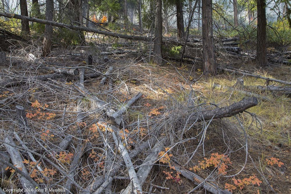 Small Douglas-fir trees that were cut in a thinning project fifteen years earlier show little sign of decay.  In dry forests dead wood does not quickly disappear.