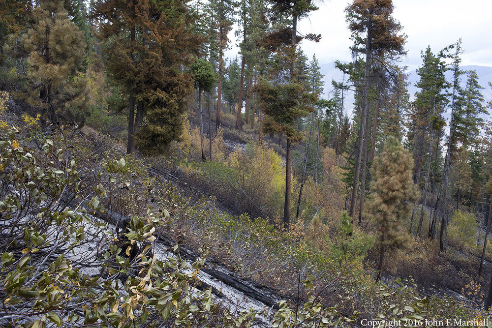 Although to the uninitiated the forest appears to have suffered damage, in actuality most of the trees will survive, but with canopies that are higher off of the ground.  The shrubs will vigorously re-sprout from the roots, and provide succulent feed for mule deer which live there.