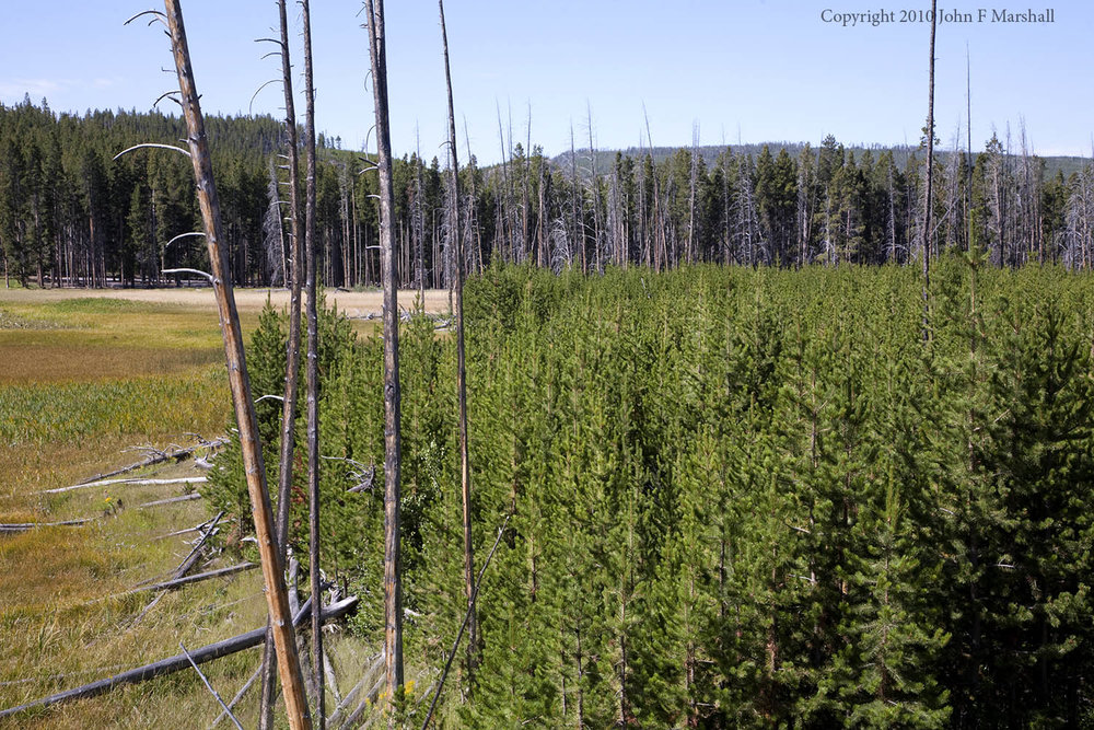 Dense young lodgepole pine stand in Yellowstone National Park, Wyoming.  This stand was established following the fires of 1988.  Photo from 2011.