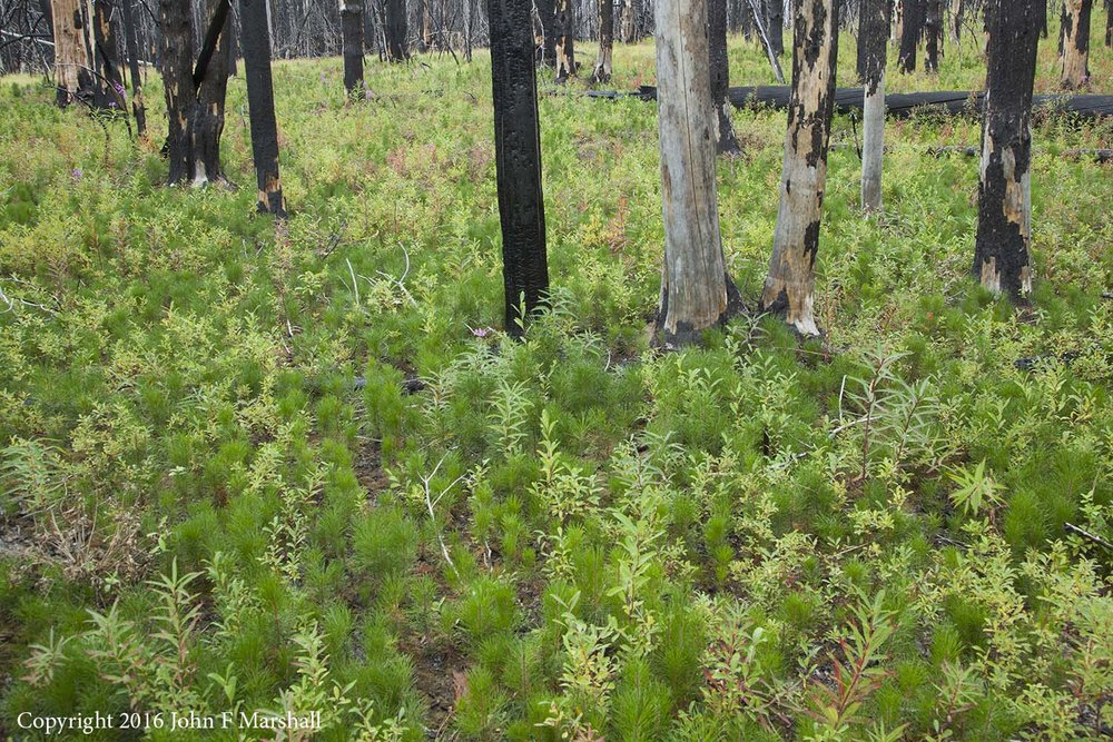 Four years after the Table Mountain Fire, lodgepole pine seedlings carpet the forest floor in the Naneum Meadows area on the Cle Elum R.D. of the Okanogan-Wenatchee National Forest, WA.