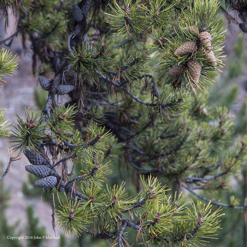 Serotinous cones stay closed until enough heat is applied to melt the resin that binds the cone scales together- a fire adaptation.   This characteristic is not universal within lodgepole pine.  Within an individual tree some cones may open normally, while others are serotinous.