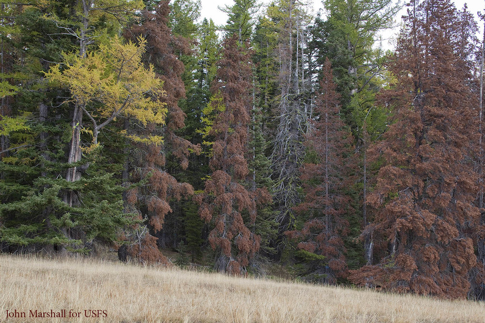 "Mountain pine beetle attack on lodgepole pine.   Although always present, beetle attacks reach epidemic proportions in some years.  At the ""red"" stage trees are highly flammable and continue to be so, until the needles fall which takes two to three years.   Naches R.D., Okanogan-Wenatchee National Forest, WA."