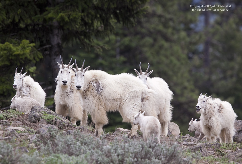 Mountain Goat nannys and kids in the vicinity of Devil's Slide.  Naches Ranger District of Okanogan-Wenatchee National Forest, WA.  Photography funded by The Nature Conservancy.