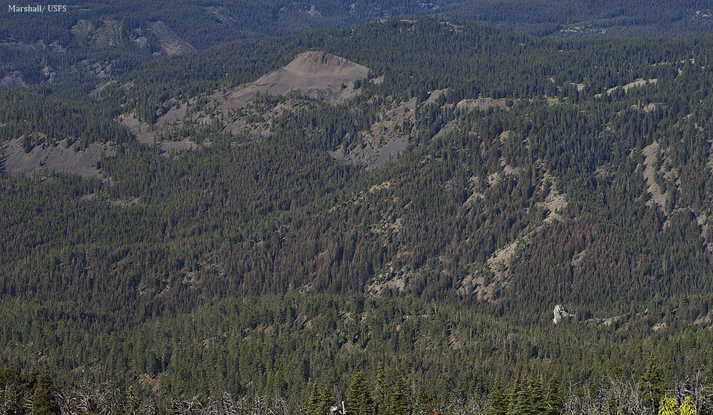 The brown color is due to defoliation by western spruce budworm caterpillars, which feeds on fir trees but not pines.