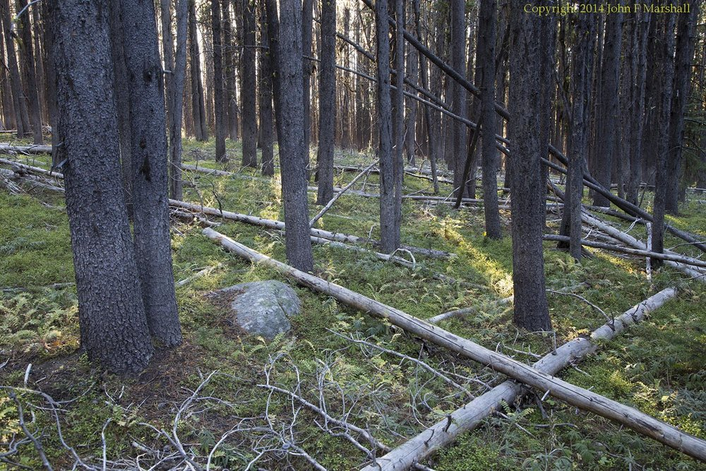 An un-burned area close to the above photo of a burned area.  Under the forest canopy, wildlife can find shade and cover.  Shade loving plants thrive here.  In winter subalpine fir trees provide subsistence forage for moose and mountain goats.