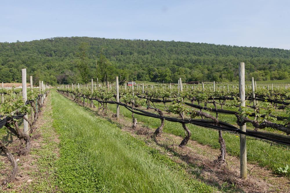 Vineyard in the Spring.