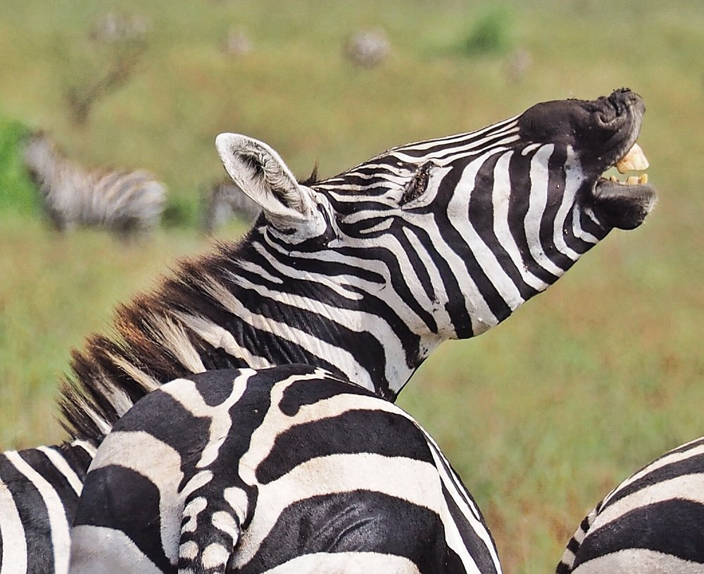 Zebra in Nechasar National Park, Ethiopia