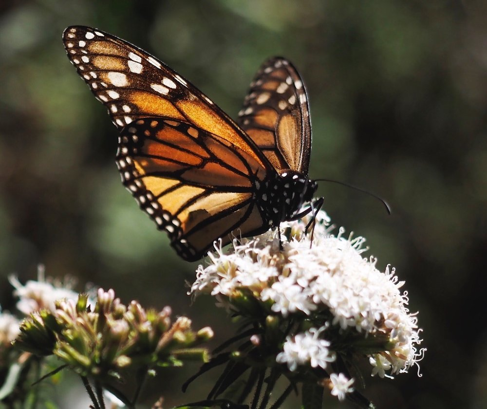 In March, we visited a Monarch sanctuary in Michoacan, Mexico