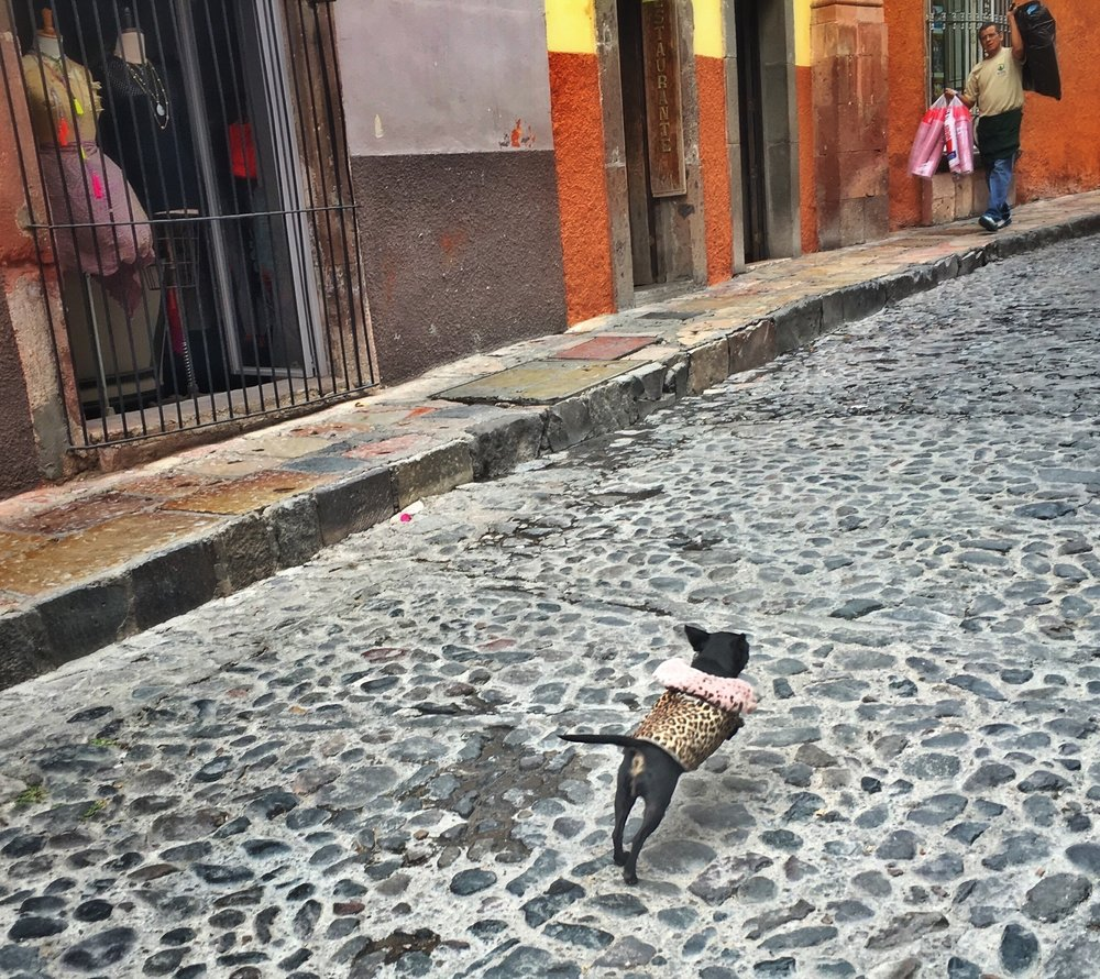 Chihuahuas may not have a problem negotiating San Miguel's cobblestone streets, but plenty of visitors do.