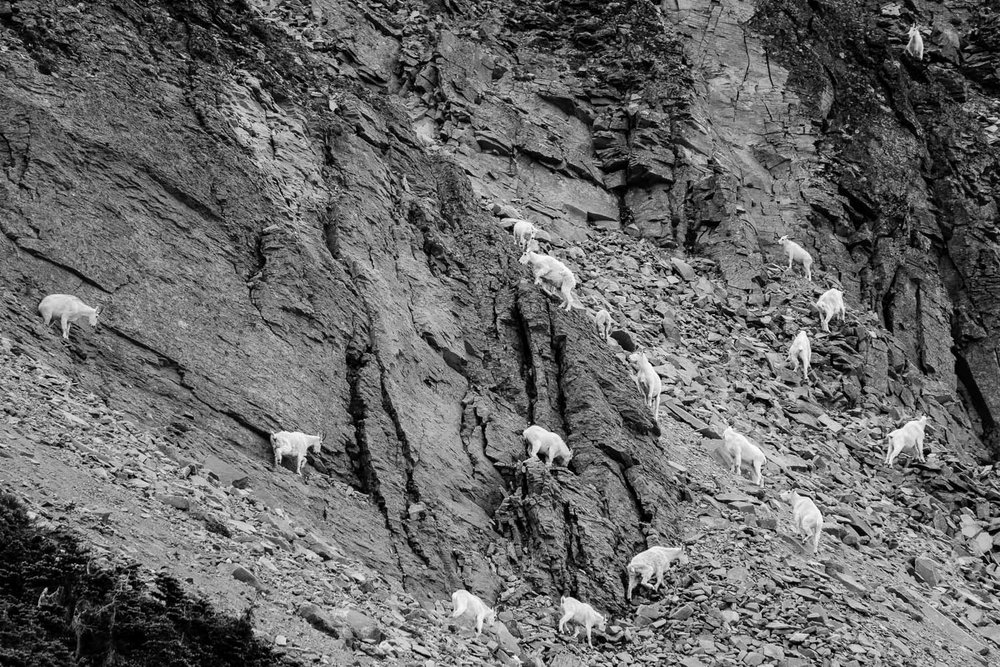Mountain Goats Climbing Rainier
