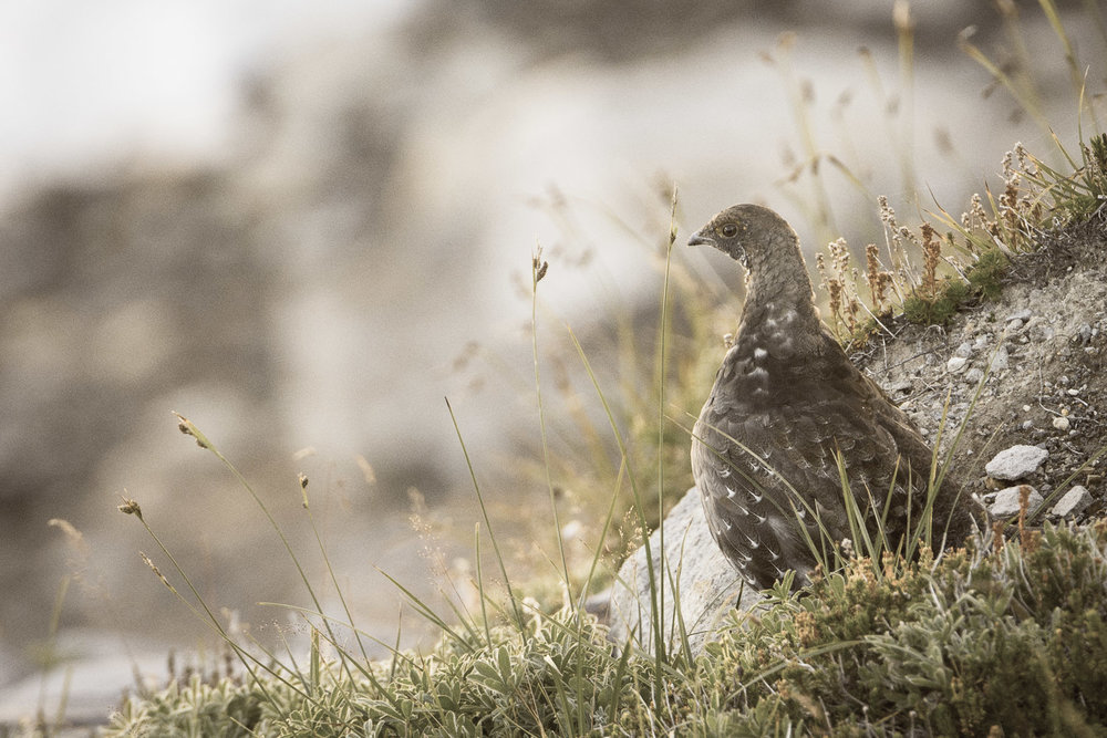 Sooty Grouse on Mount Rainier