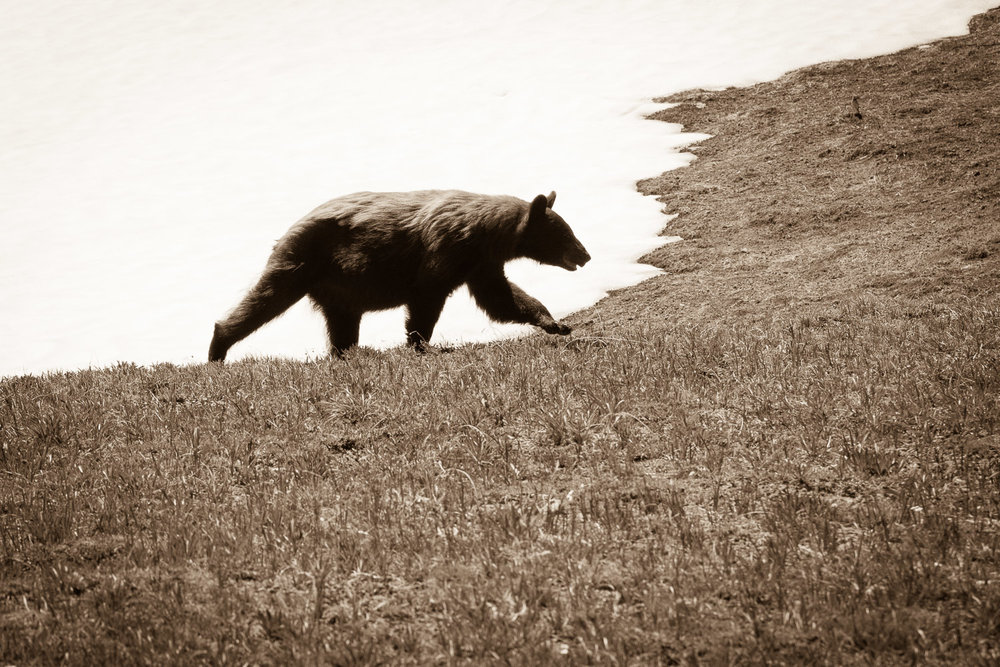 Cinnamon Bear on the Wonderland Trail at Mount Rainier