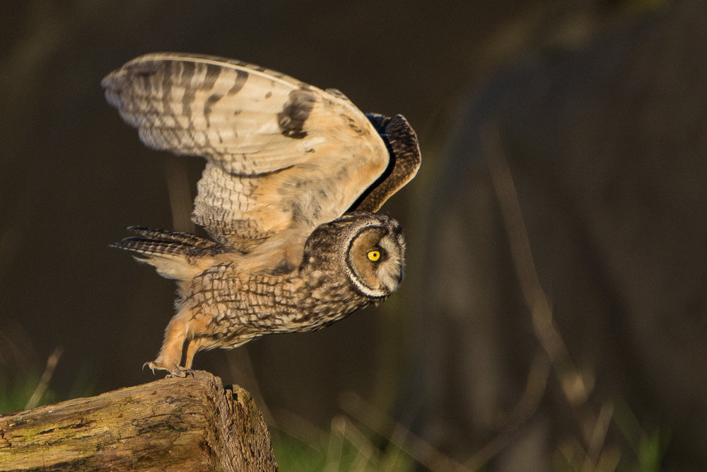 A long-eared Owl takes flight.