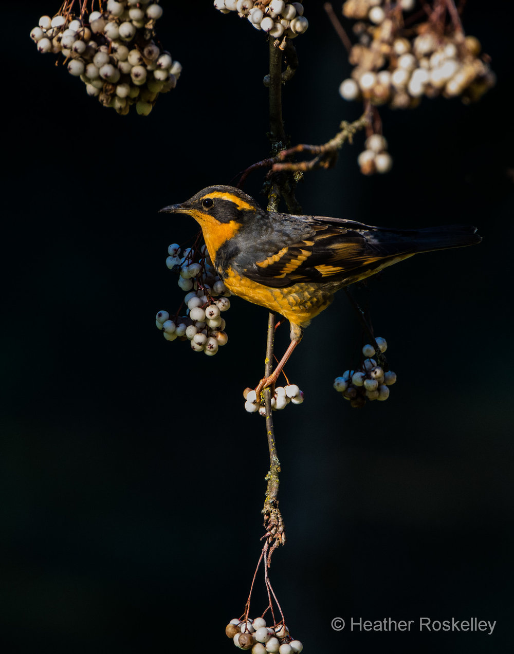 Varied Thrush and the mountain ash Sorbus forrestii.