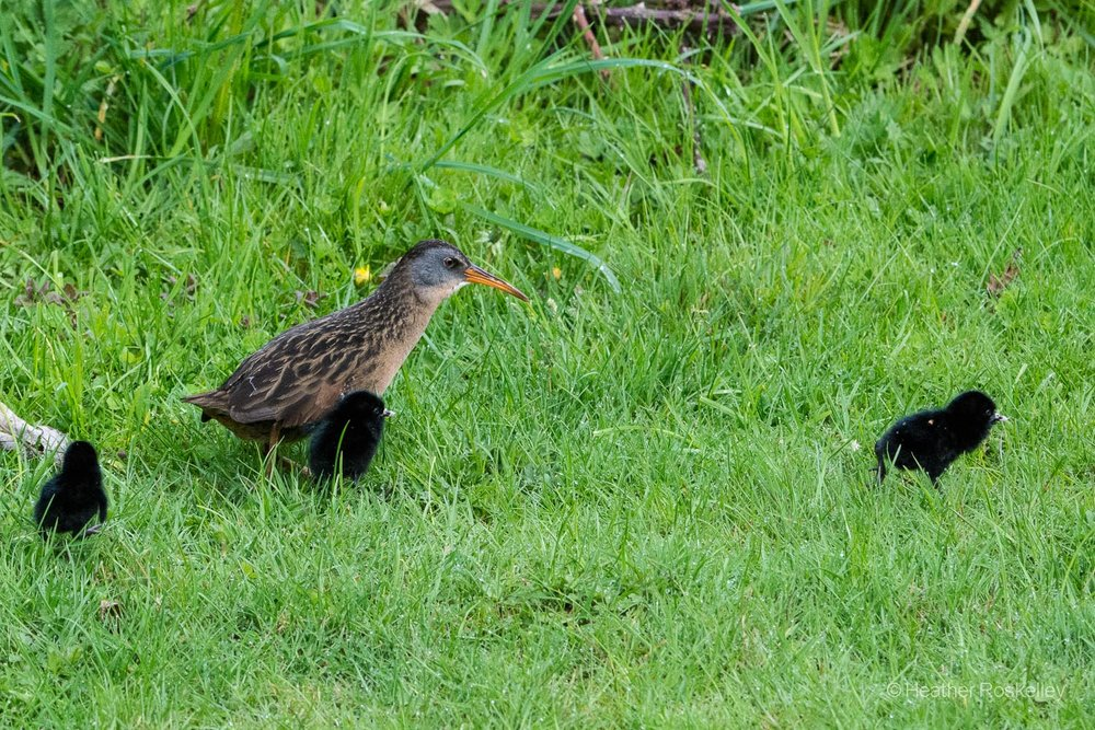 Another view of the Virginia Rail family as they make their way through the grass.