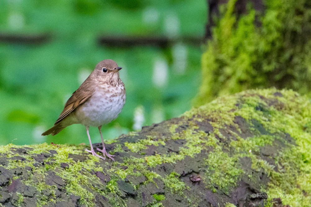 A newly arrived Swainson's Thrush takes in its surroundings, including a human with a big camera.