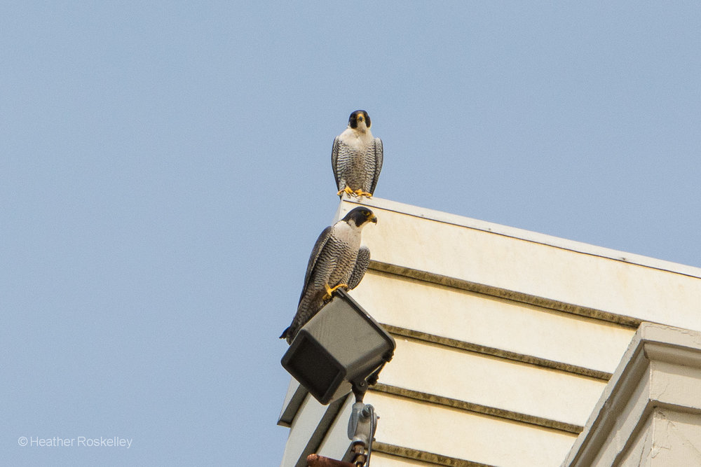 Peregrine Falcon parents, Murray (top) and Harriet (bottom), keep a watchful eye on their four chicks.  One can see in this photo the larger size of the mother - a trait common among most raptors called reversed sexual size dimorphism.