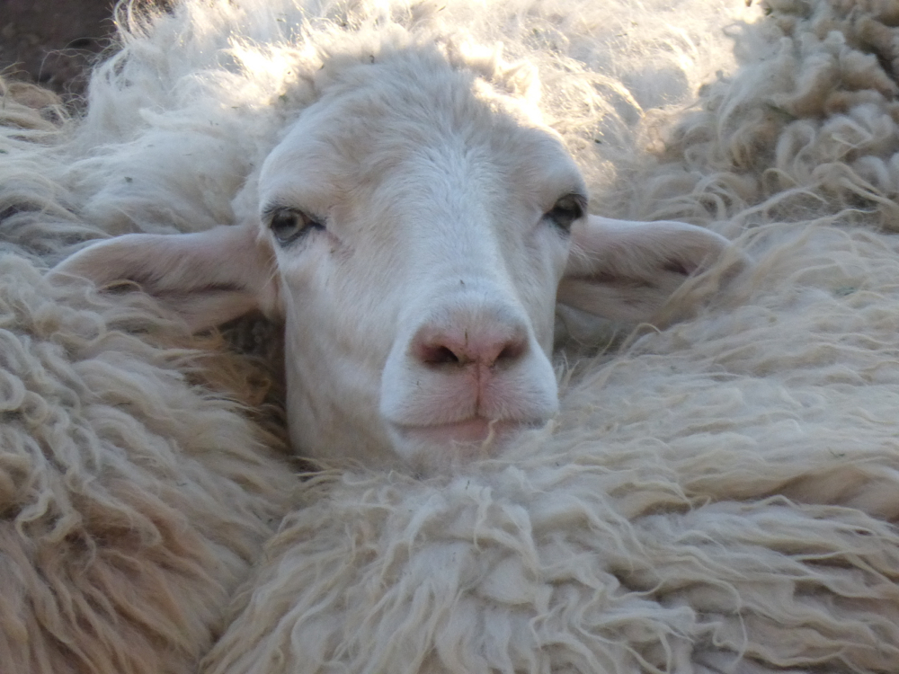 meet Bella, one of the farm's beautiful navajo churro sheep