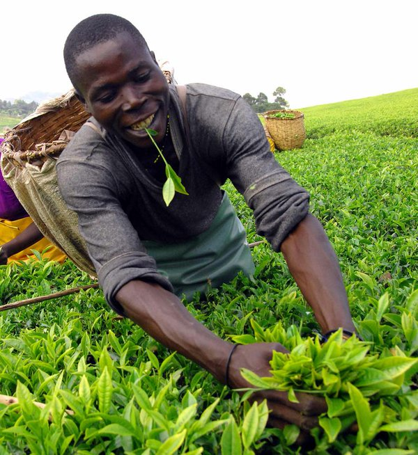 Meet Bernard. A great tea picker. A handful of leaves when processed makes 3 - 4 cups of tea..jpg