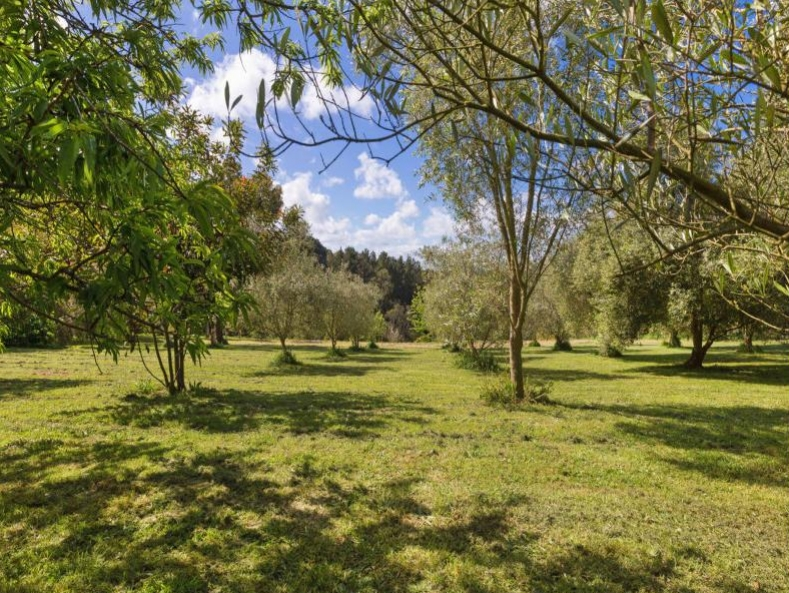olive grove from fruit trees.jpg