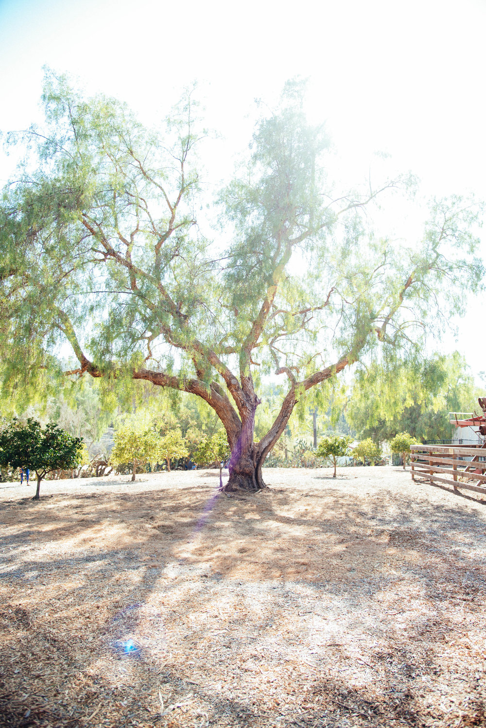 Our shoot started at BEAUTIFUL Leo Carillo Ranch in Carlsbad. This tree was seriously GORGEOUS!
