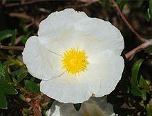 Cistus ladaniferus (flower)