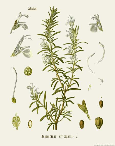 One of the herbs for strewing - Rosemary botanical print