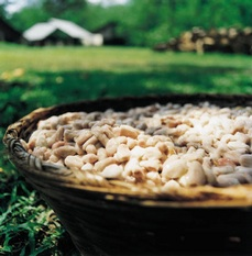 Cacao beans (picture: www.barry-callebaut.com)