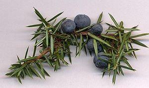 Gin-tastic Juniper Berries (source: Wikipedia)
