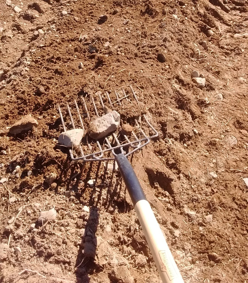 Now that all the beds have been shaped, rock removal effort is focused inside the growing area of each bed.  With this fork, (actually made for silage or manure) I'm able to sift rocks out and toss them in the wheel barrow.  The super dry soil actually is helping with this task!