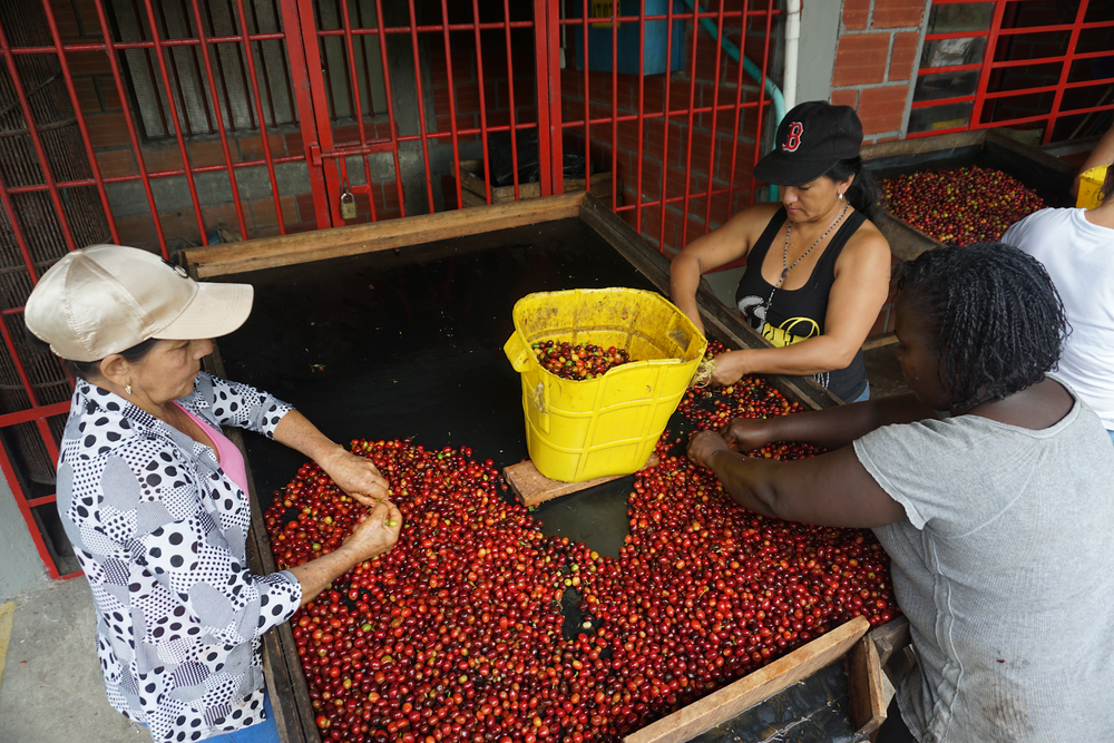 Hand sorting freshly picked cherries at Mallorca to remove underripe, overripe, and potentially defective coffee. Only perfectly ripe cherries will be make it in to Mallorca's microlot offerings. The rest will be added to lower-grade blends.