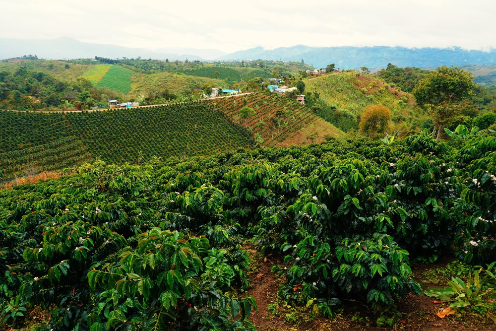 La Estrella-Coffee Farm-edited.jpeg
