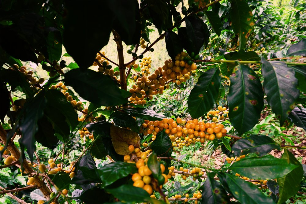 La Estrella-Yellow Cherries-edited.jpeg