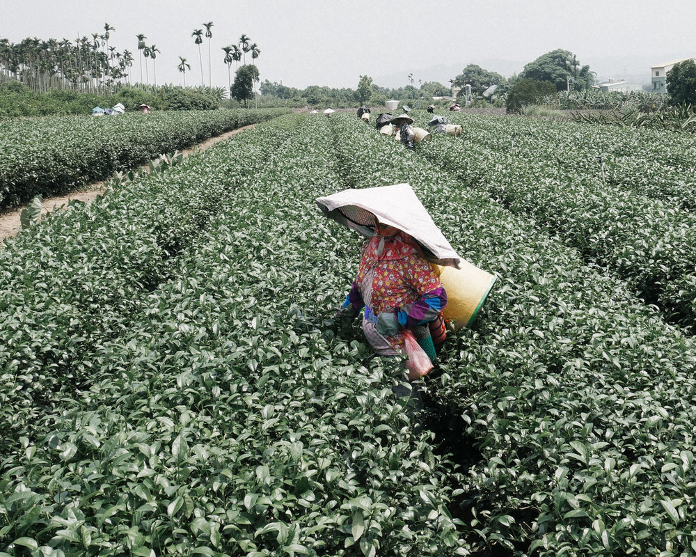 taiwanese-tea-picking1.jpg