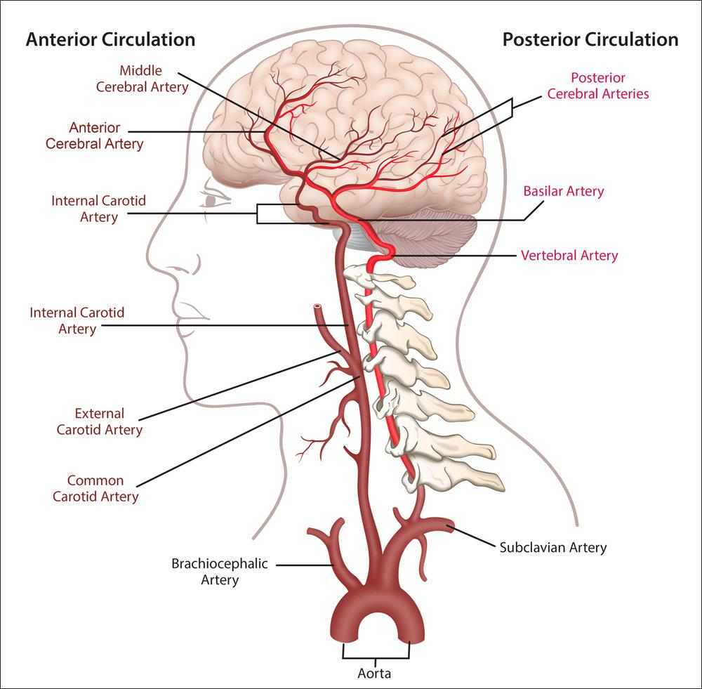 Brain Anatomy — chris bucheit