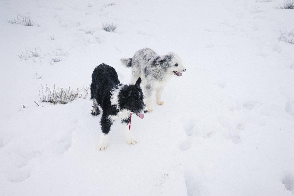 9 -- Idaho Shaggy dogs.jpg