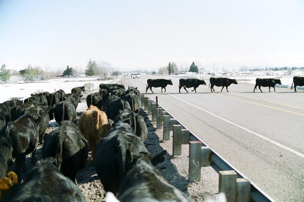 13 -- Cattle drive.jpg