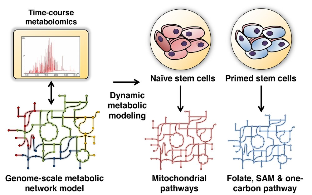 stem cell metabolism