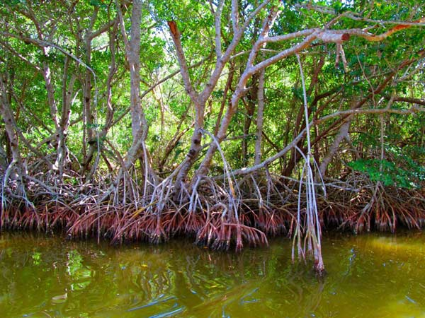 The Mangroves we were trying to protect, native plants to the Everglades.