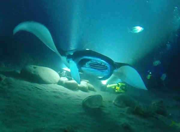 Oceanic Manta.