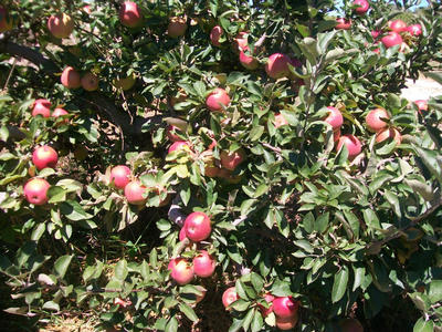 ayres orchard.jpg